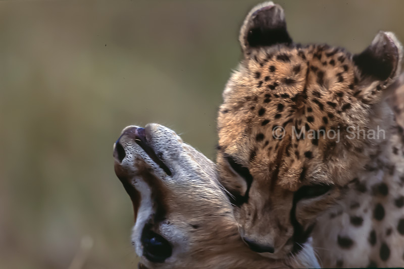 Cheetah bites the throat of the Thomson's gazelle after a successful long chase in Masai Mara.