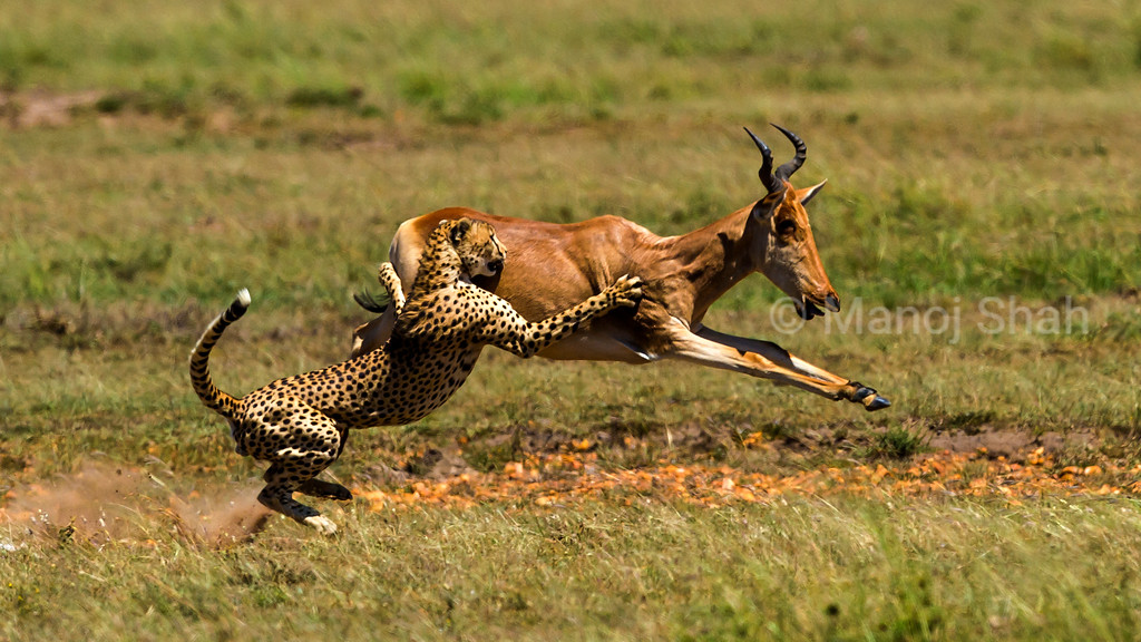 Having caught up with the hartebeest, the cheetah uses his front paws to topple the running hartebeest in Masai Mara.