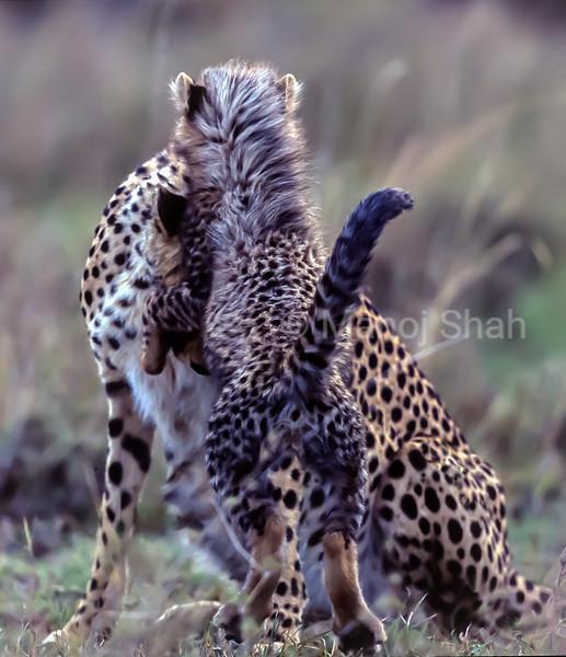 Cheetah cub rears up to its mother in Masai Mara.