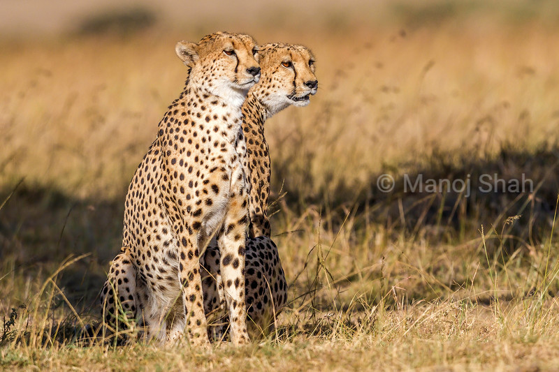 Cheetahs looking at prey in Masai Mara.