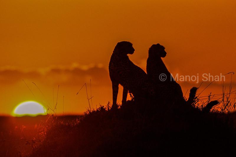 Cheetahs {Acinonyx jubatus} silhouette at sunrise,  Maasai Mara R, Kenya