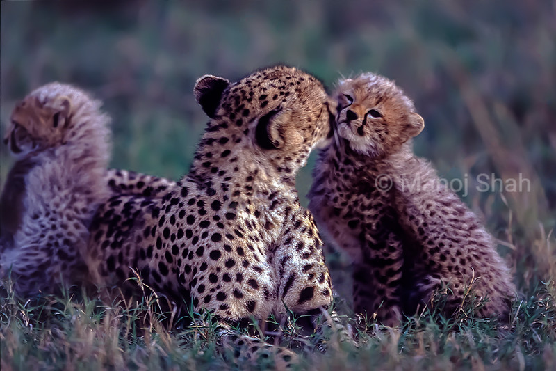 Cheetah Mother greeting and grooming cub in Masai Mara