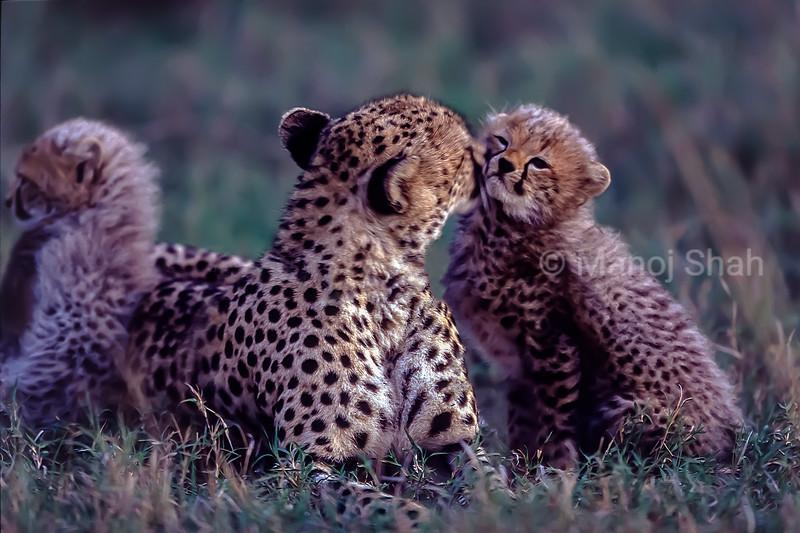 Cheetah Mother greeting and grooming cub in Masai Mara