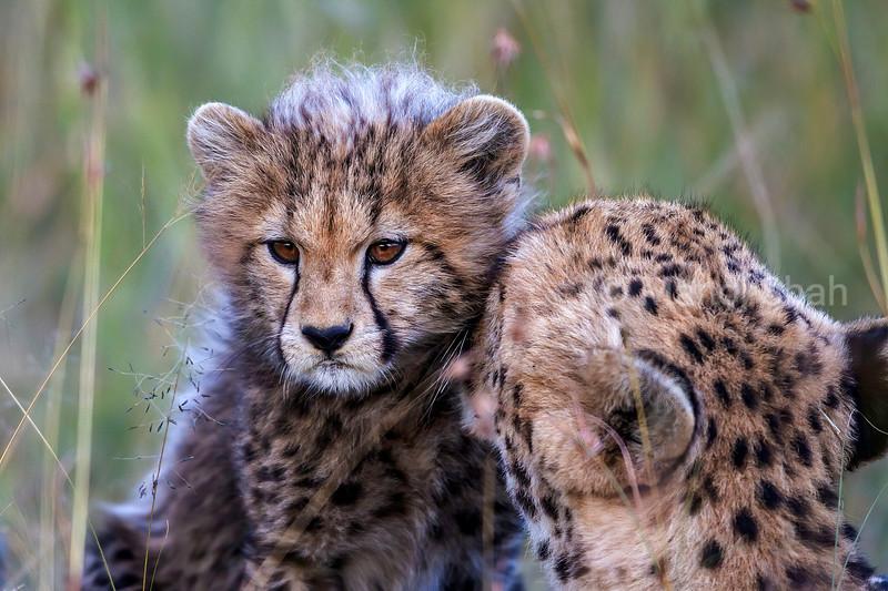 Cheetah mother grooming baby in Masai Mara.