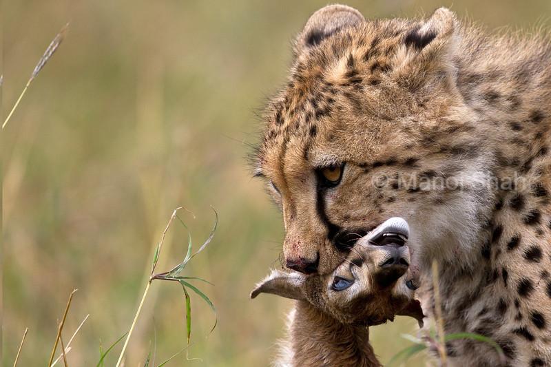 Cheetah with a gazelle kill