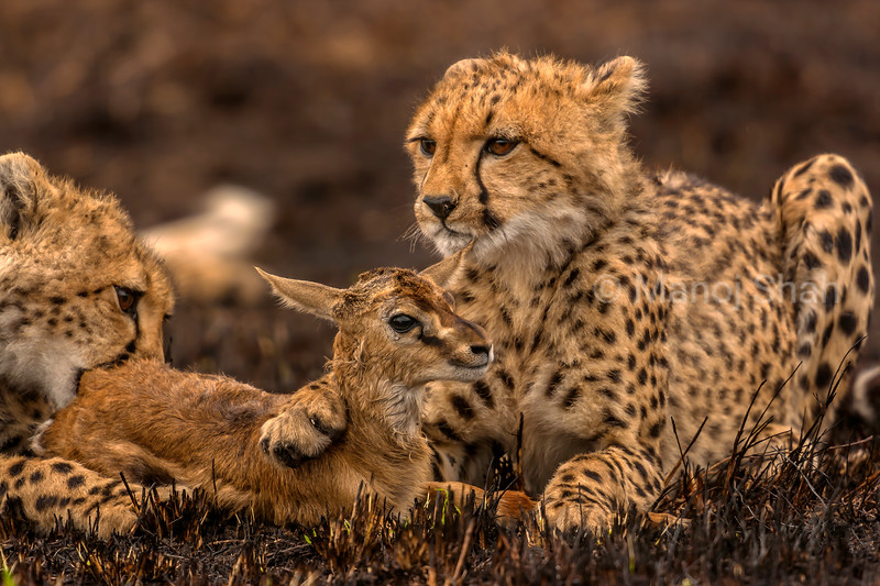 Having caught a Thomson's gazelle, the cheetah mother is now starting to teach her cubs the skill of hunting in Masai Mara.