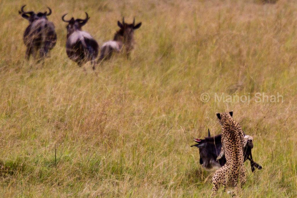 Cheetah attacking Wildebeest