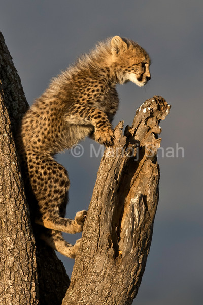 Cheetah cub on a tree
