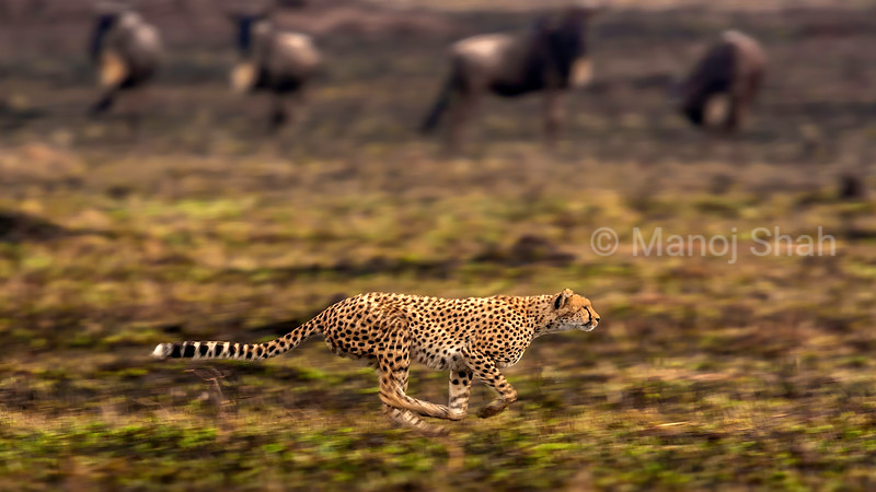 Cheetah on the run after prey at full speed in Masai Mara.