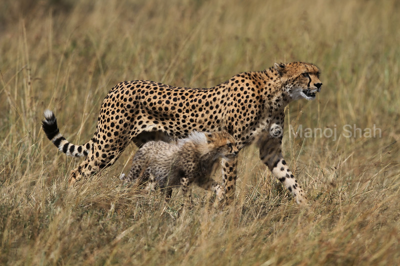 Cheetah mother and cub walking in Masai Mara savannah.