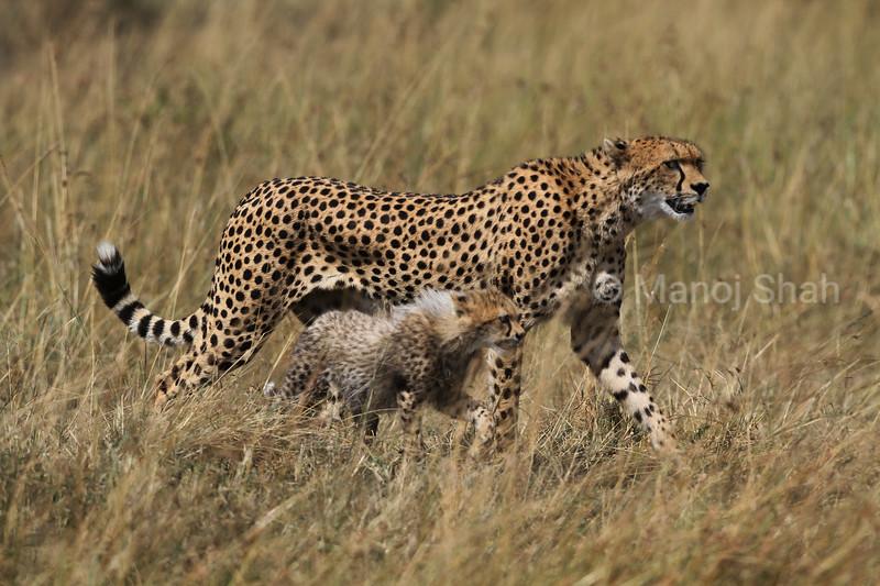 Cheetah mother and cub walking in Masai Mara savannah.