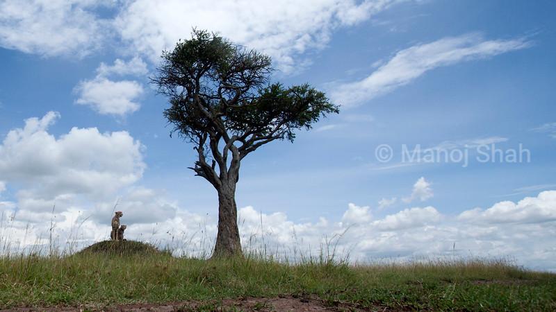 Cheetah mother and baby observing the Masai Mara plains.