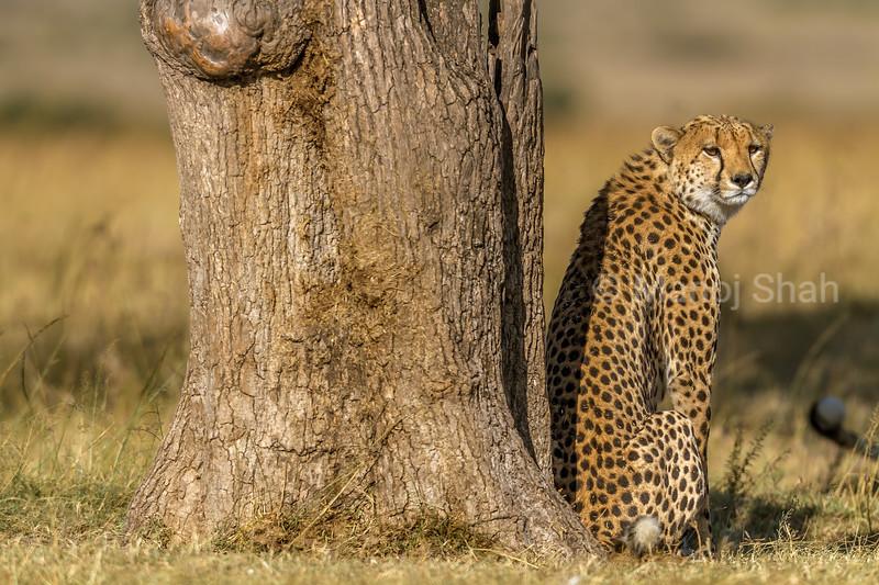 Female cheetah resting under a tree in Masai Mara