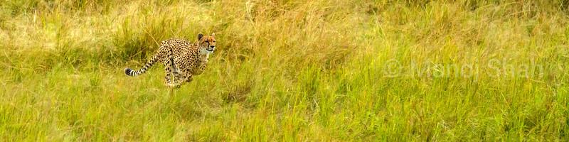 Female cheetah runs to hunt on the savanna in Masai Mara.