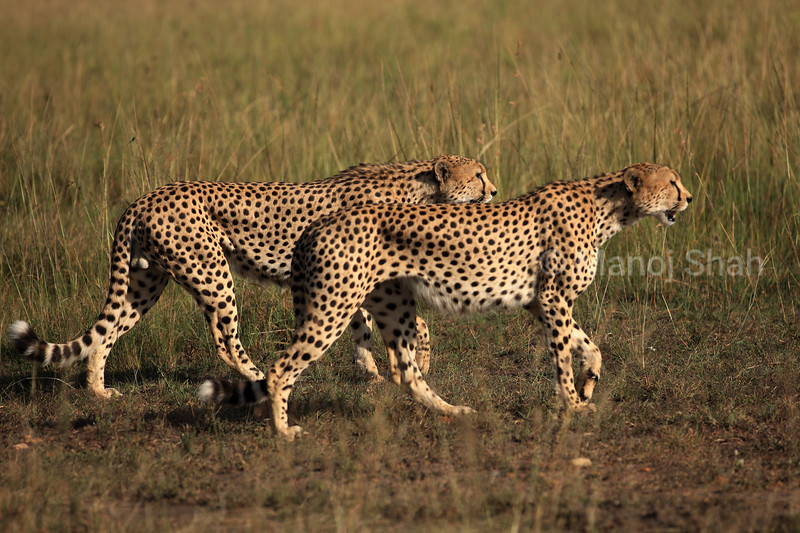Cheetahs on lookout