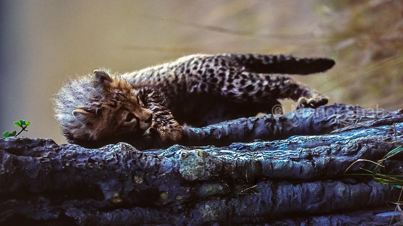 Cheetah cub playing on a fallen tree trunk in Masai Mara