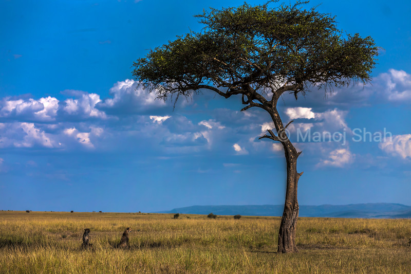 Acacia tree with cheetahs underneath in the Mara plains