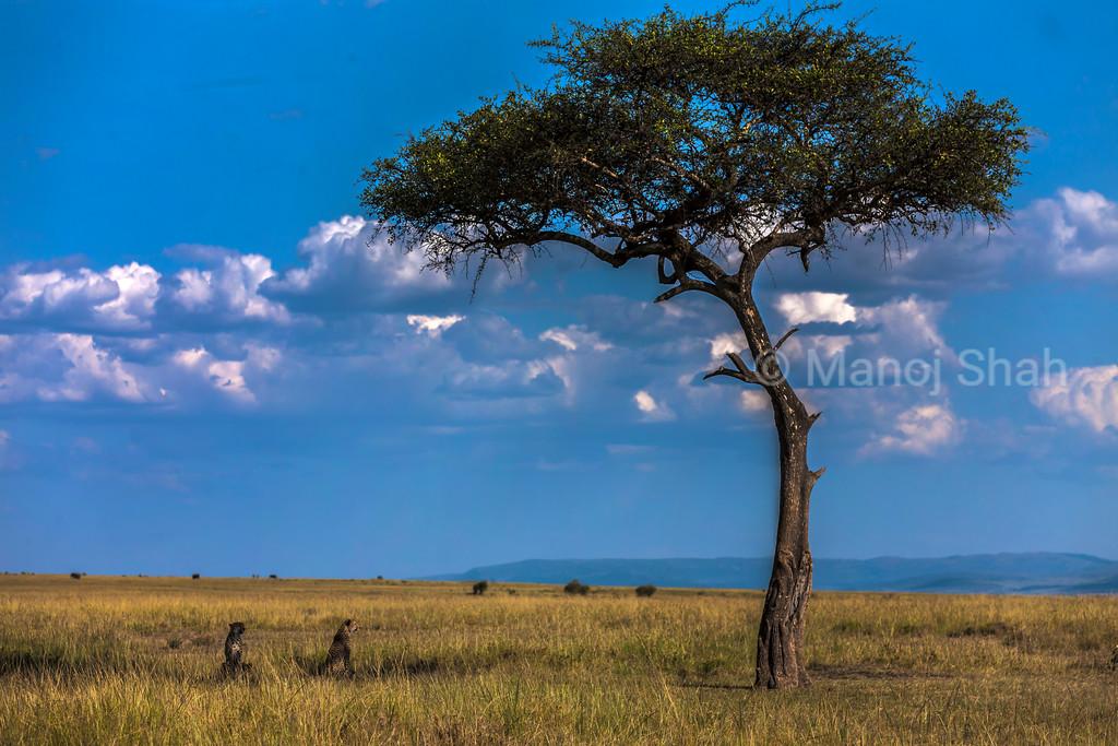 Acacia tree with cheetahs underneath in the Mara plains