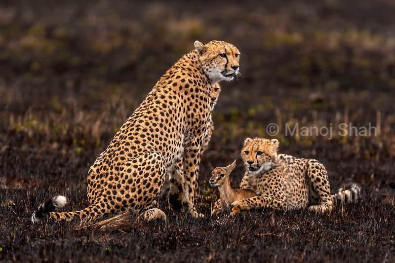 Cheetah mother has caught a Thomson's gazelle in Masai Mara and is waiting for other cubs to come .