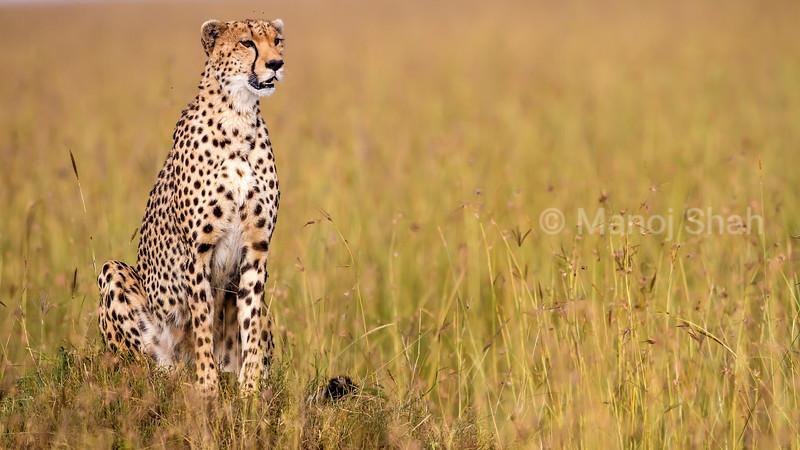 Cheetah scanning the Mara plains in Masai Mara
