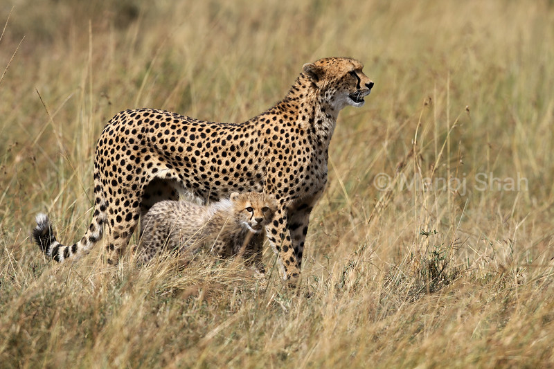 Cheetah mother and cub in Masai Mara savannah.