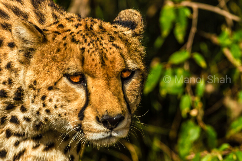 Cheetahs on the prowl for prey animals