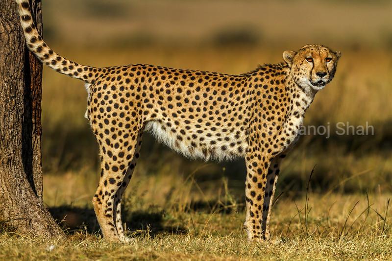 Female cheetah under a tree in Masai Mara.