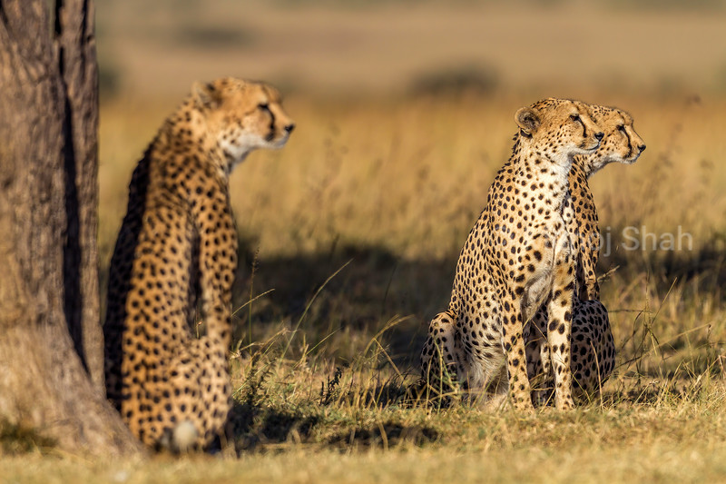 Cheetah mother with two grown up cubs watching prey while resting under a tree in Masai Mara.