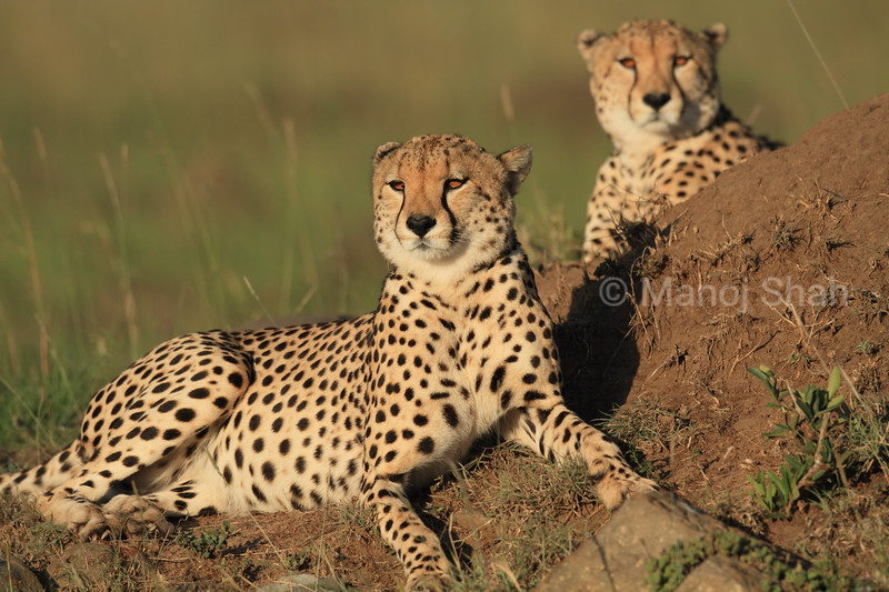 It is late afternoon and these cheetahs  (mother and sub-adult cub) are enjoying the setting sun.