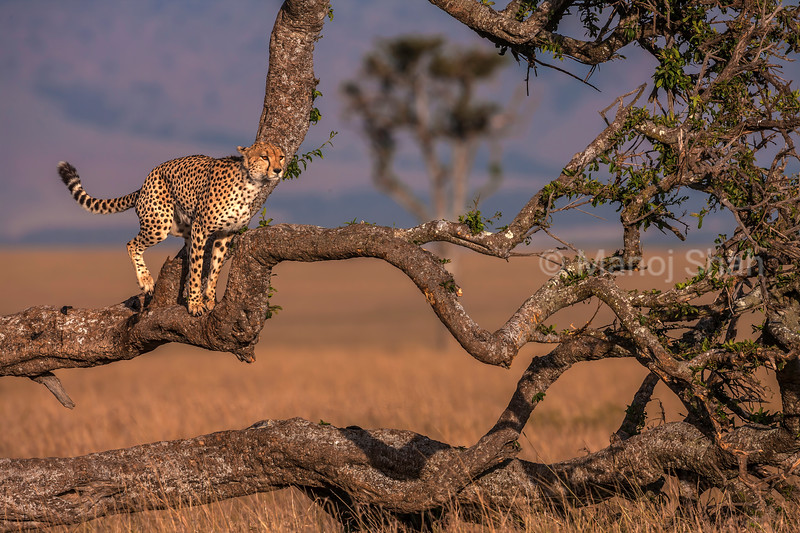 Cheetah scans the environment from top of a tree in Masai Mara.