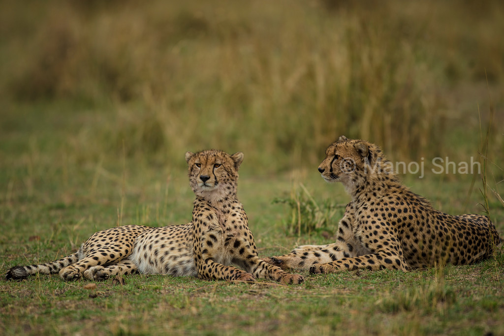 Cheetah brothers resting before sunset
