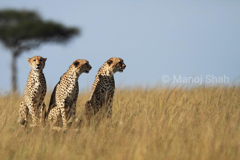 Cheetahs  looking for  prey