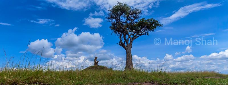 Cheetah and cub on an ant hill in Masai Mara.
