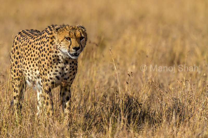 Cheetal walking through tall savannah grass in Masai Mara