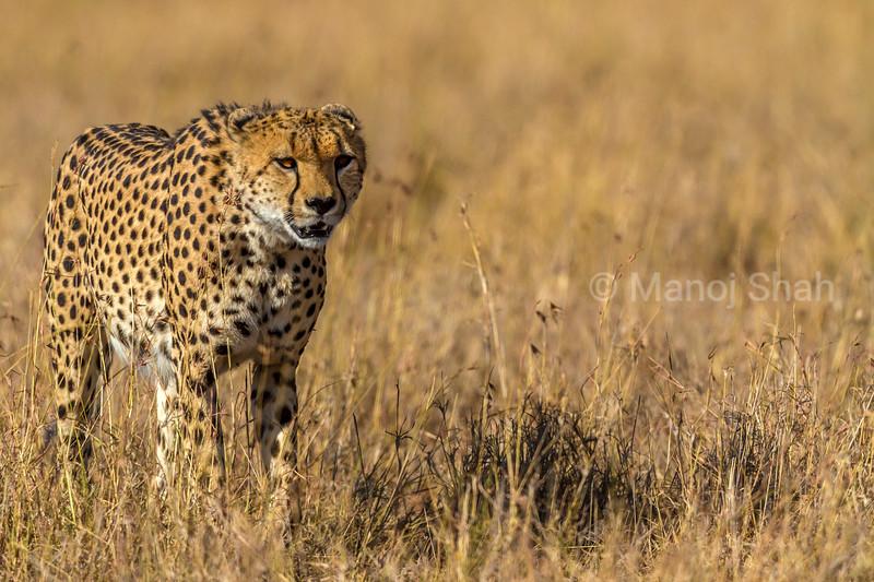 Cheetal walking through tall savannah grass in Masai Mara