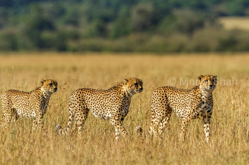Three male cheetahs looking for prey in Masai Mara savannah.