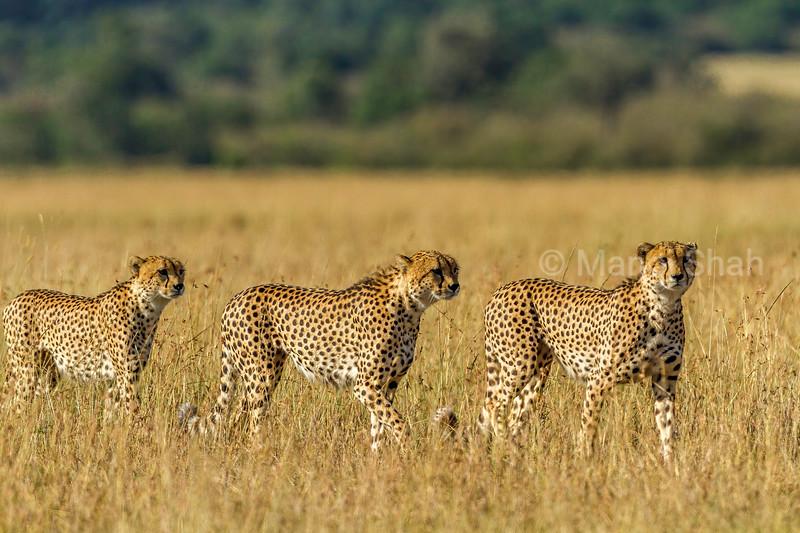Three male cheetahs looking for prey in Masai Mara savannah.