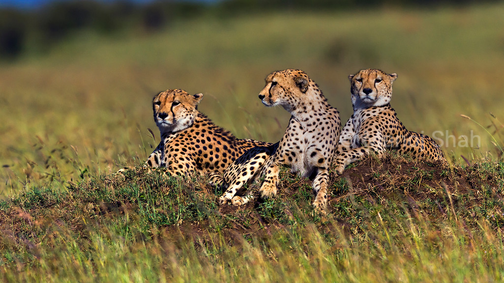 The three cheetah brothers view grazing hartebeest at the bottom of the valley in Masai Mara.