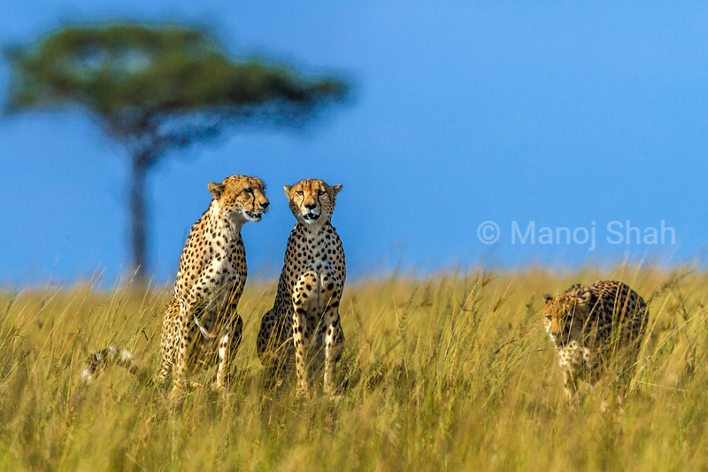 Cheetahs on the lookout for prey animals.