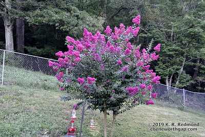 The Crepe Myrtle in Morning Light
