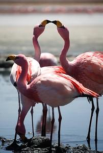 Thousands of flamingoes paint the waters pink - Salar de Uyuni, Bolivia.  2010.