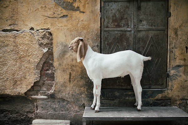 Just a goat on a porch in central Delhi, India.  2015.