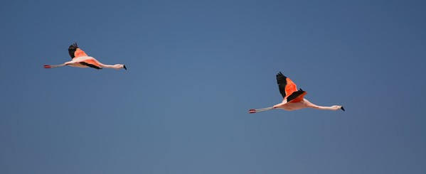 Flamingoes take flight over the Salt Flats of San Pedro De Atacama, Chile.  2010.