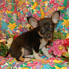 X Sold to Morgan Kay PUPPY NUMBER ( # CHI MAR 71 2006 ) <br /> CUSTOMER:______________________<br /> BREED: Chihuahua<br /> SEX: Male <br /> COLOR:Black/tan/white<br /> SIZE: Small<br /> D.O.B. 1-14-06<br /> PRICE: $875.00<br /> PERSONALITY: Spunky and smart. He is not intimidated by anything. He hasnt shown to be a barker at all. He loves to play and to be held. He's got cute little short legs and a short body.<br /> Hair Texture: Short Coat<br /> APPROX SHIPPING DATE: 3-30-06<br /> > Express Economy Shipping is included in the puppy price. Add $125.00 if you want or need Premium Shipping with a Direct Flight thru American Airlines or Delta Airlines.