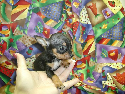 CHIHUAHUA PUPPIES Photo and Video Galleries