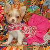 Chihuahua 2006 Adopted Puppy Photo Gallery : 1 gallery with 3 photos