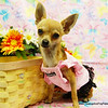 "PUPPY NUMBER # ADOP 897<br /> Adopted TO: Kristin G.<br /> Adopted by Waiting List <br /> FROM: DALLAS, TX       <br /> BREED: CHIHUAHUA                  <br /> SIZE: TINY TEACUP<br /> SEX: FEMALE <br /> COLOR: TAN W/ BLACK FACE<br /> DATE OF BIRTH: 05-15-2008<br /> COAT TYPE: SHORT<br /> Starting Price with registration was: $12,875.00<br /> Adoption Starting Price was: $9,875.00<br /> Adopted for $ 250.00 thru our make an offer form.<br /> Pet Boutique sales representative: JAN<br /> Customer Comments:""PIXIE""<br /> Send an e-mail to ( PuppyPurchase@TexasTeacups.com ) if you would like for us to include comments about your new puppy or photos of your family members with or without puppy to this photo gallery.<br /> <br /> Click the ( BUY or BUY THIS PHOTO ) icon to purchase this puppy picture.<br /> Photos are available in wallets, 8 X 10, 5 x 7, on key chains, mouse pads, back packs, coffee mugs and T-Shirts and more.<br /> <br /> This Photo is copyright protected by:  <a href=""http://www.TexasTeacups.com"">http://www.TexasTeacups.com</a>"