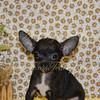 """PUPPY NUMBER # ADOPT CHI 2102<br /> My New Owners Name: Ronnie L.<br /> Puppy's Name: Daddy's Girl<br /> Date Adopted : February 2010<br /> <br /> FROM: Ennis, TX<br /> BREED: Chihuahua<br /> SEX: Female<br /> COLOR: Black w/white markings<br /> DATE OF BIRTH: 10/14/09<br /> <br /> Pet Boutique Sales Representative: Ginger<br /> <br /> Customer Comments:  Doing great!<br /> <br /> If you purchase a puppy in this photo gallery and would like for us to add your puppy's name and comments to the puppy you have purchased. <br /> Send an e-mail with your full name, puppy's name and puppy number to us along with any comments you would like to add to your puppies photo.<br /> You may also send photos of your family members with or without puppy and we will add it to your puppy's photo gallery. <br /> <br /> ==== ( TeacupPets@TexasTeacups.com ) ====<br /> <br /> This Photo is copyright protected by <a href=""""http://www.TexasTeacups.com"""">http://www.TexasTeacups.com</a>"""