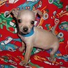PUPPY NUMBER > ( # BC-601) <br /> SOLD TO DAMIEN WEST IN JUNUEAU ALASKA  / VERY SMALL TOY CHIHUAHUA HE IS   VERY LOVABLE!  SOLD 7-9-2004