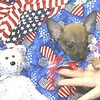 PUPPY NUMBER # T-CHI-4-50-2005 <br /> SIZE: Teacup Chihuahua<br /> BREED: Chihuahua<br /> SEX: Male<br /> Texas Teacups Male Teacup Chihuahua Stud